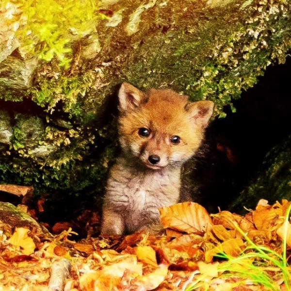 http://www.growingforest.net/files/gimgs/th-47_foxchild.jpg